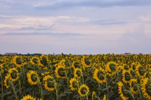 Sunset over beautiful sunflower fields in Bulgaria