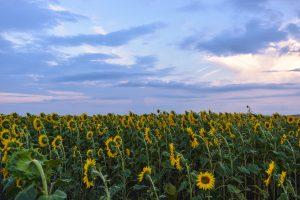 Beautiful sunset over sunflower fields in Bulgaria