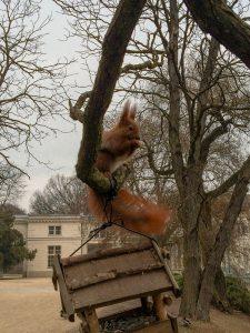 Squirel at the Lazienki Park in Warsaw