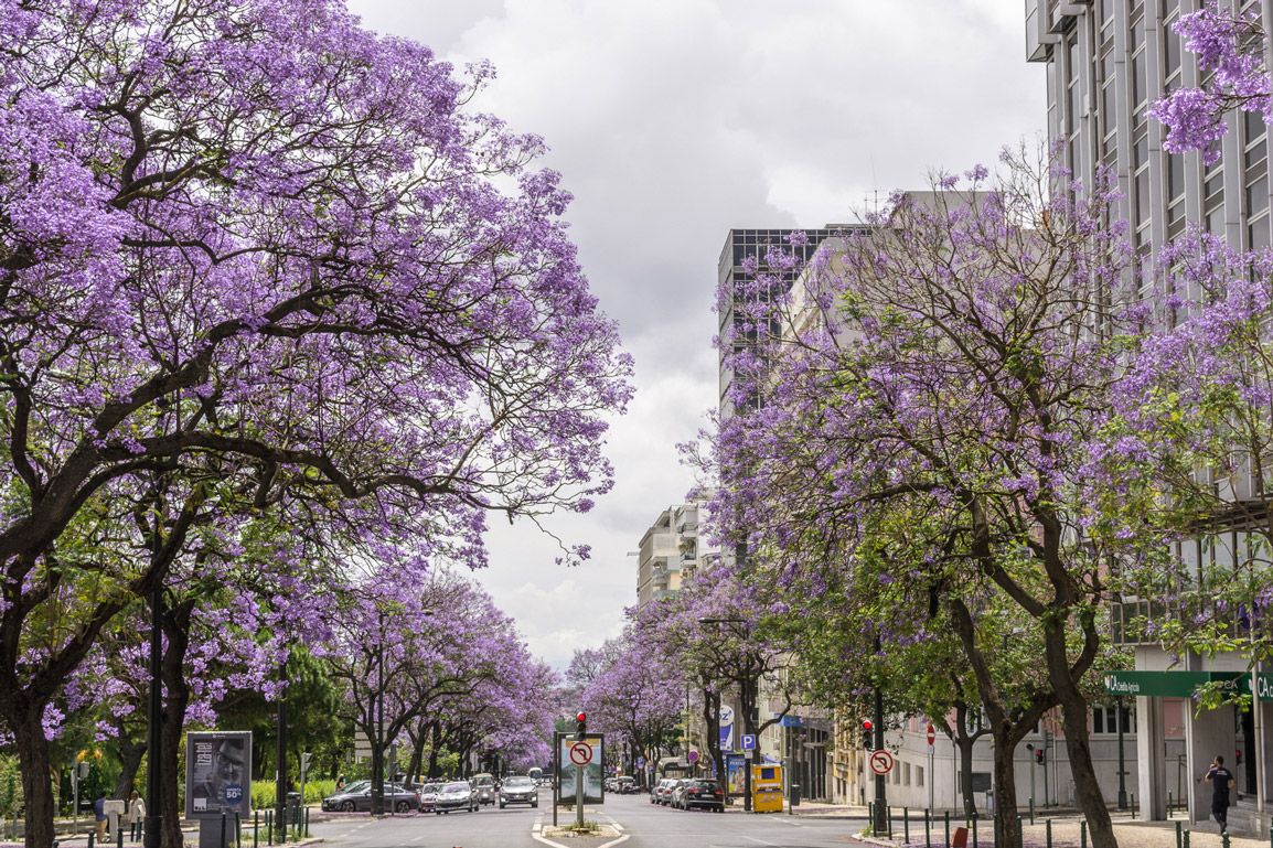 The Jacaranda trees paint Lisbon of purple during the Spring