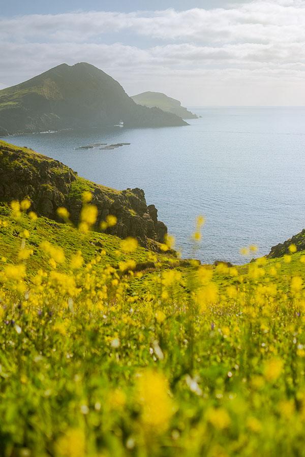 Yellow Flowers in Ponta de São Lourenço, Madeira